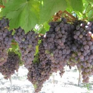 Pisco_liquor_distilled_from_grapes