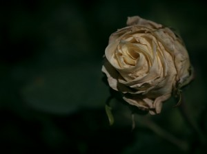 yellow_rose_wilting_by_ashengrayskies-d5elwr2