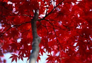 red-leaves-petteway-112709-ga