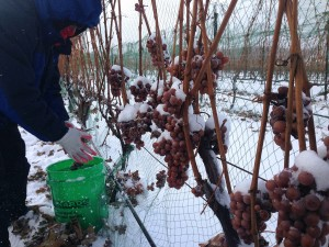 Picking-Ice-Wine
