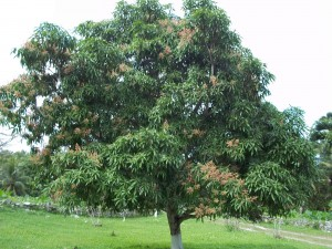 Mangifera indica - Mango Tree 02